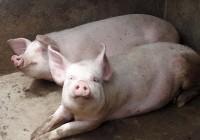 Ayudas de la UE para la promoción de los sectores lácteo y porcino
