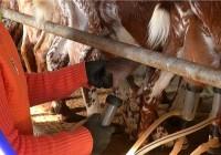 VÍDEO Caen los precios de la leche de cabra
