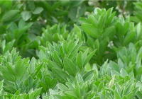 VÍDEO Cultivo de legumbres en Andalucía