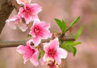 VÍDEO El melocotón en flor