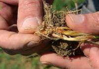 Las organizaciones agrarias demandan la quema de rastrojos en la superficie afectada  por el mosquito del trigo