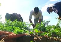 VÍDEO Cultivo de zanahoria en Sanlúcar de Barrameda