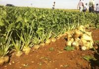 Situación de la remolacha azucarera en Andalucía