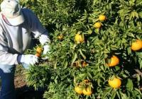 Los precios marcan una campaña de la naranja pésima en la provincia de Córdoba