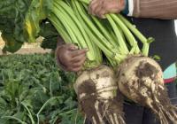UPA denuncia la casi nula presencia de agricultores en la Mesa del Azúcar de la Comisión Europea