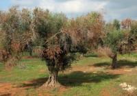 Descartan la xylella en los olivares andaluces tras realizar 600 análisis