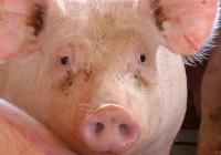 VÍDEO Crisis en el sector del porcino blanco