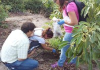El abono de cáscara de almendras protege los árboles de aguacates contra los hongos del suelo