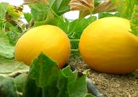 VIDEO. Recolección de melones y sandías en Almería
