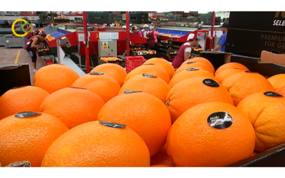 Asaja repartirá este viernes 6.000 kilos de naranjas en protesta por los bajos precios