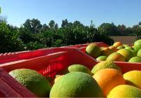 El presente y el futuro del sector citrícola andaluz, a debate en Lora del Río