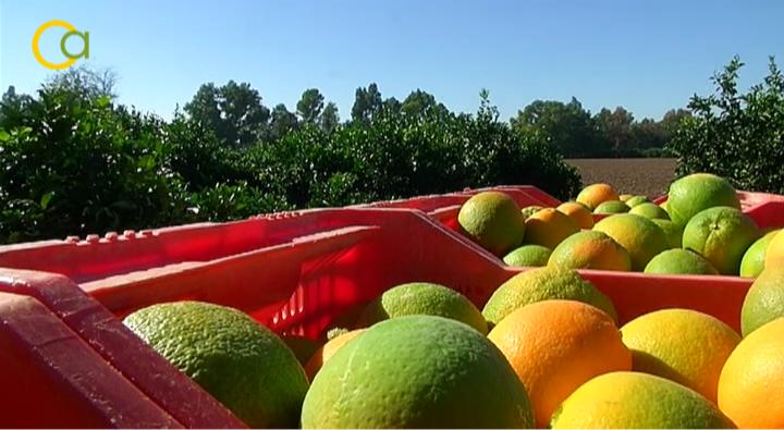 La campaña de la naranja se encuentra al 15-20% de recolección en la Vega del Guadalquivir