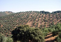 Junta y sector acordarán el martes la nueva propuesta de ayudas asociadas al olivar en pendiente