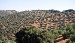 UPA Andalucía asegura que no se alcanzará la producción estimada en el aforo de olivar