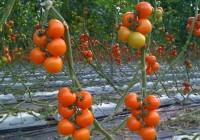 Agricultura abrirá expediente sancionador a una explotación de Almería que exportó tomate con restos de etefón