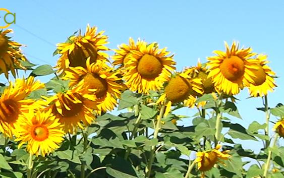 La cosecha de girasol se reduce en más de un 25 %, en gran medida por el continuo descenso de las siembras