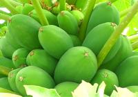 VÍDEO El cultivo de la papaya en Almería