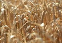 Las altas temperaturas y la ausencia de lluvias perjudican el desarrollo de los cultivos de invierno