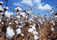 La Junta amplía hasta el 15 de junio el plazo para la siembra de algodón en la campaña 2016/2017