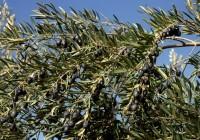 Descifrado el genoma completo del olivo del Mediterráneo