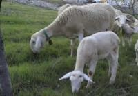 ASAJA-Jaén valora que se use el pastoreo para evitar los incendios