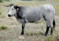 "El Ministerio de Agricultura autoriza el uso del logo ""100% Raza Autóctona"" a la Asoc. Nacional de Criadores de la raza bovina Cárdena Andaluza"