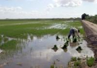 La superficie dedicada al cultivo del arroz en España es de 110.00 hectáreas con una producción de unas 850.000 toneladas