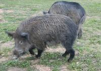 Municipios de Cádiz, Málaga y Sevilla, en el área de emergencia cinegética temporal por daños de cerdos asilvestrados