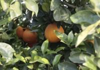 La fruta de hueso y de pepita, los cítricos, el melón y la sandía, entre otros, verán incrementados la indemnización por retirada