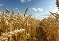 Córdoba sufre esta campaña una disminución de un 13% en la producción de trigo