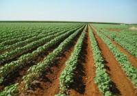 Asaja-Sevilla estima que la producción nacional de algodón podría situarse en 180.000 toneladas