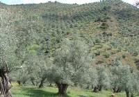 Propuestas de UPA Andalucía para el sector del olivar