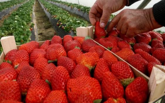 Se mantiene la superficie plantada de frutos rojos para la campaña de 2019 con un incremento del 2,8%
