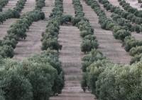 Interaceituna presenta un primer avance de aforo de producción de aceituna de mesa de la campaña 2016