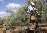 Arranca un verdeo más corto por la vecería y el agostamiento del fruto