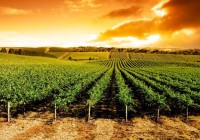 La Junta abre una segunda convocatoria de ayudas para planes de reestructuración y reconversión de viñedo en 2016