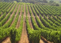 La Consejería de Agricultura publica el listado de adjudicatarios de nuevas plantaciones de viñedo para 2016