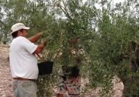 Se estima una producción inferior de aceituna de mesa en un momento en que el clima será decisivo
