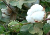 El aforo del algodón 2016-2017 estima una producción de 166.629 toneladas, un 4% más que el año anterior