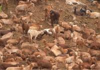COAG moviliza a los cabreros andaluces ante los bajos precios de la leche