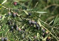 COAG Andalucía estima pérdidas en torno al 25% en la producción de aceite de oliva por la falta de lluvias