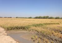 UPA Andalucía prevé una producción de arroz de muy alta calidad en una campaña de recolección que comienza con retraso