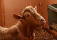 UPA Andalucía alerta sobre la situación crítica del caprino en Andalucía