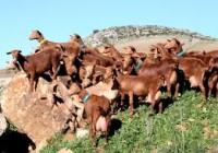 La Junta reclama al Ministerio que incluya al caprino en las ayudas excepcionales para los productores de leche