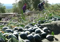 VÍDEO: Almazara, corta en producción pero muy buena en calidad