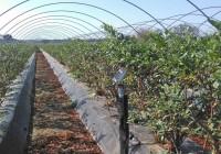 La Plataforma en Defensa de los Regadíos del Condado de Huelva contabiliza más de 3.000 hectáreas de berries con riego eficiente en la Corona Norte