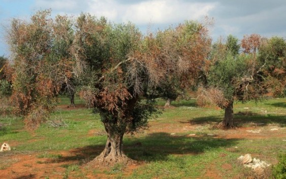 Agricultura refuerza las medidas contra la Xylella y trabaja en un protocolo de actuación contra la sequía