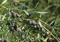 La Consejería de Agricultura abona 29,7 millones de euros  a ayudas para apoyar el olivar ecológico en Andalucía