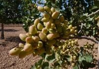 El pistacho ecológico casi cuadruplica su superficie en Andalucía en los dos últimos años y supera las 430 hectáreas en 2016