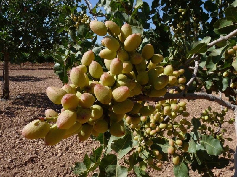 Caracterizan el hongo que provoca la principal enfermedad del pistachero en España